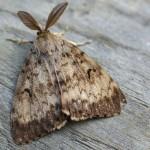Adult gypsy moth.