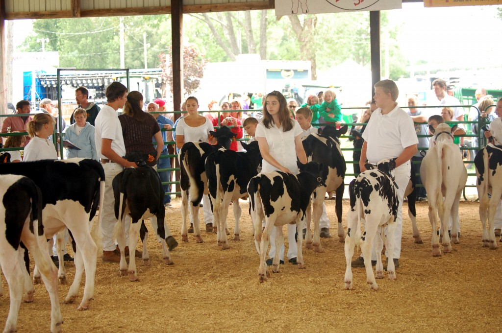 The Holstein heifer calf spring grade class during judging in the show ring.