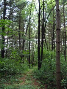 A view of a portion of pine forest with invasive buckthorn and honeysuckle growing. /Submitted photo
