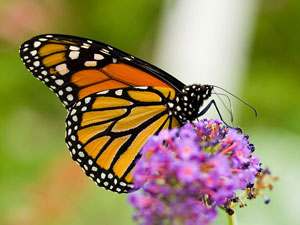 Monarch butterfly. /Photo by Ritchiebits via Wikimedia Commons, Public Domain