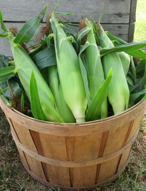 Some of Meyer Family Farms fresh picked sweet  corn.
