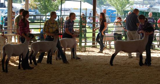 2013-sheep-show-1